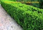 Wintergreen Boxwood - widely used for a variety of hedge/border and foundation uses.