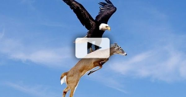 Eagles Hunt Deer Watch Eagle Catch Running Deer Amazing