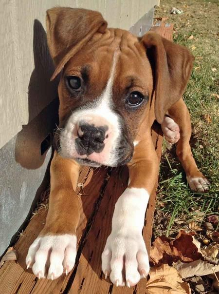 Boxer puppy ready to pounce