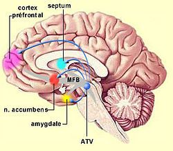 The nucleus accumbens (NAcc), also known as the accumbens nucleus or as the nucleus accumbens septi (Latin for nucleus leaning against the septum or as The pleasure center)), is a collection of neurons and forms the main part of the ventral striatum. It is thought to play an important role in reward, pleasure, laughter, addiction, aggression, fear, and the placebo effect.