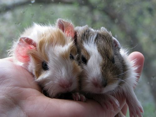 Baby Guine Pigs ...........click here to find out more http://googydog.com