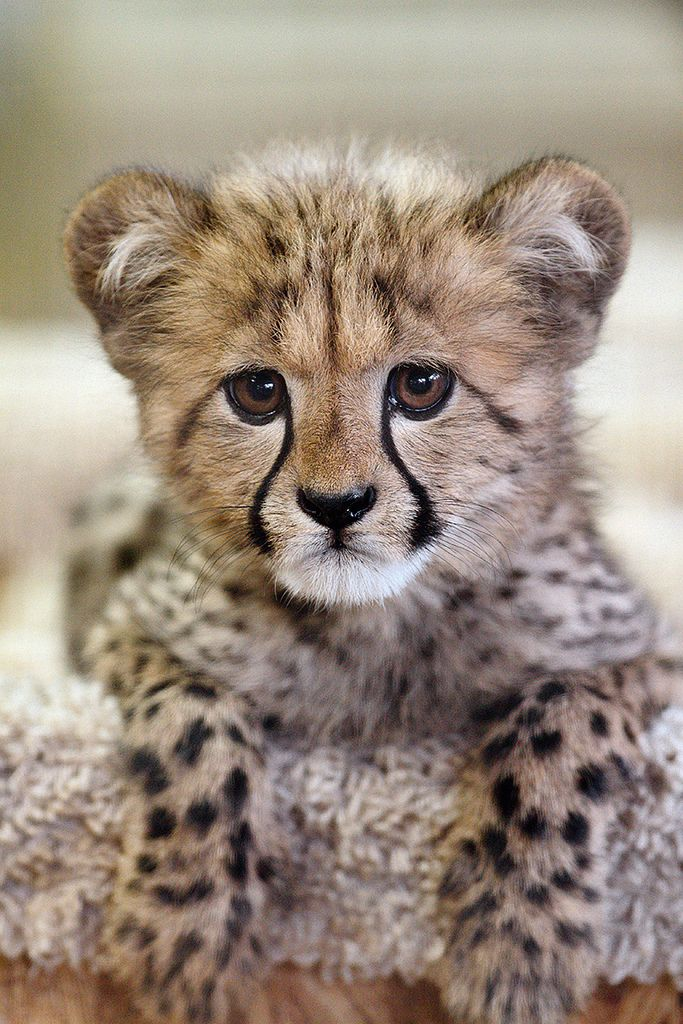 Kiburi, a new cheetah cub, was born at the San Diego Wild Animal Park aka San Diego Zoo Safari Park on November 14, 2010. This picture was taken on February 5, 2011