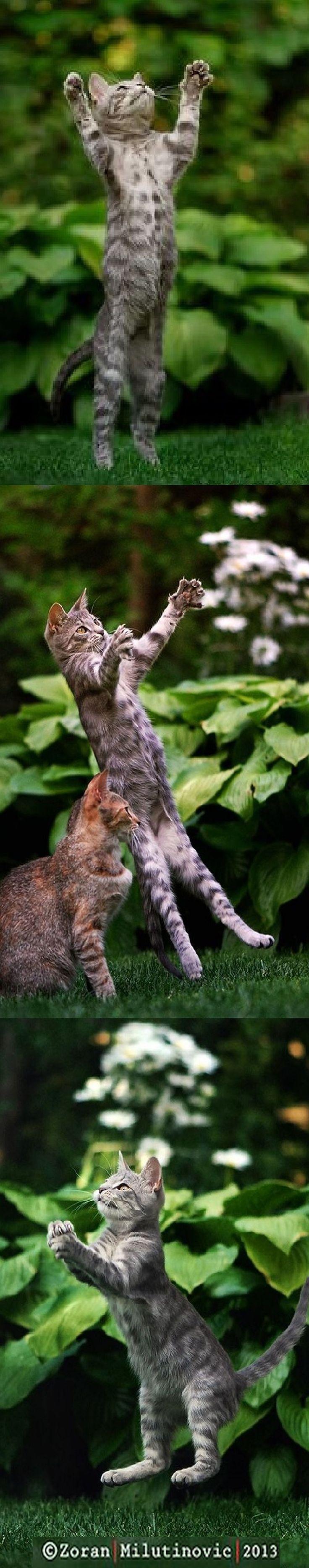 JUMP FLIGHT and LANDING ☀   #photos by ZoranPhoto on DeviantArt #cat cats kitten kitty animal pet nature amazing omg cute