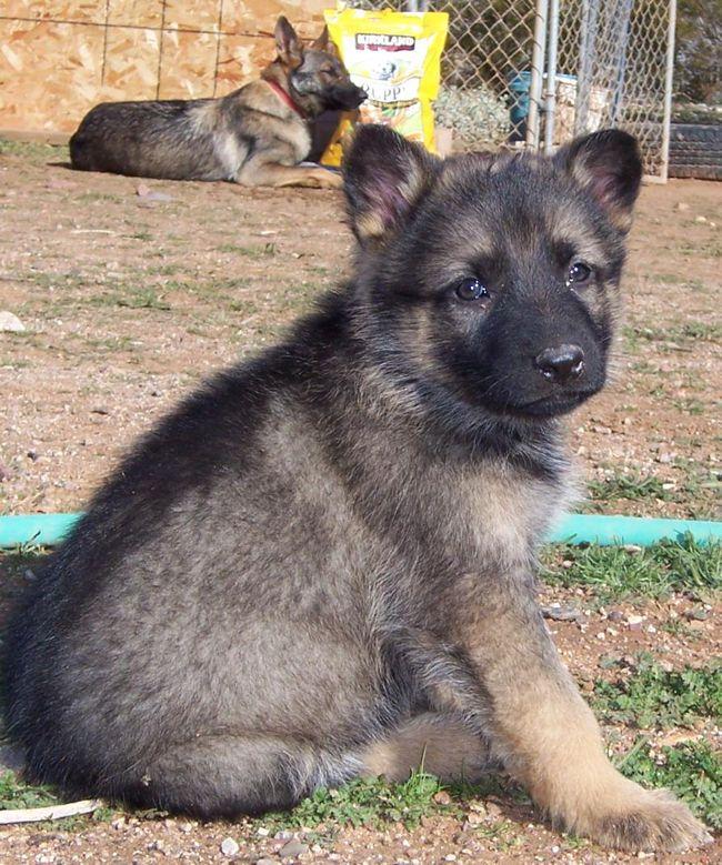 6 Week Old Brown And Grey German Shepherd Puppy Images