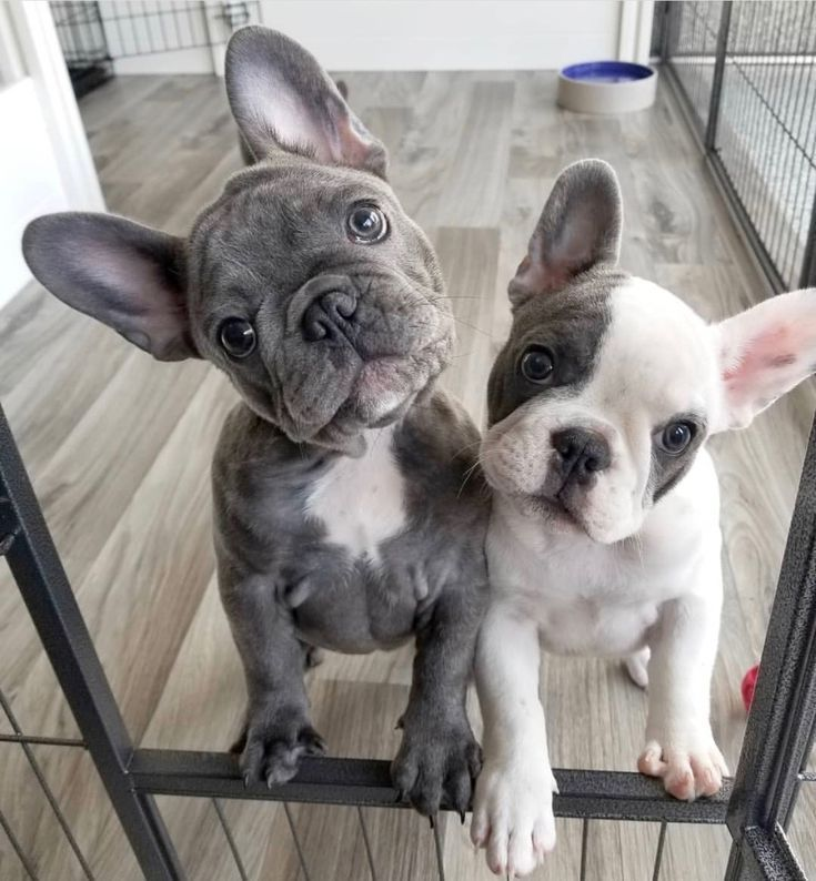 French Bulldog Puppies French Bulldog Puppies Cute Baby Animals