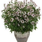 Cleome 'Senorita Blanca' will grow to approx. 60cm, and stay covered in flower for long periods.