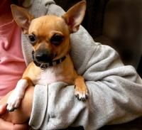 Adult Chihuahua Dog Breed | Factors to Consider When Choosing a Dog Breed