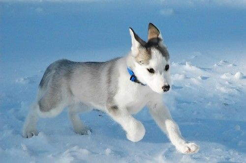Top 10 Most Expensive Dog Breeds in the World – #5 Canadian Eskimo Dog #CanadianEskimoDog http://www.pindoggy.com/pin/7656/