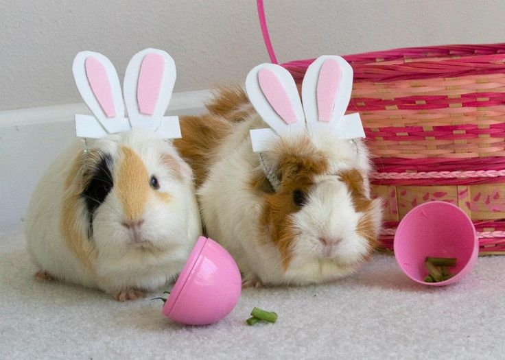 My two guinea pigs, all dressed up for Easter.