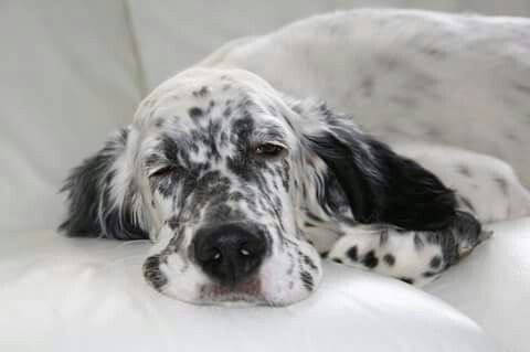 English Setter - Setters are wonderful! Always keeping an eye on the scene.