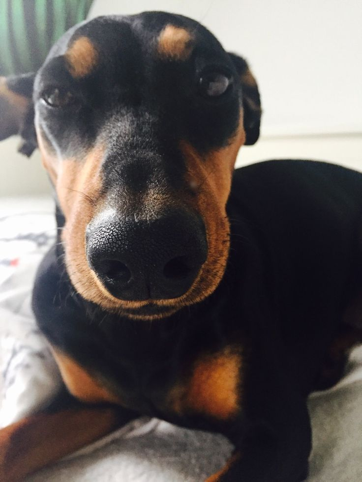 Dog Maxi german pincher