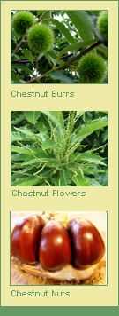 American Chestnut Trees for sale | Burnt Ridge Nursery & Orchards