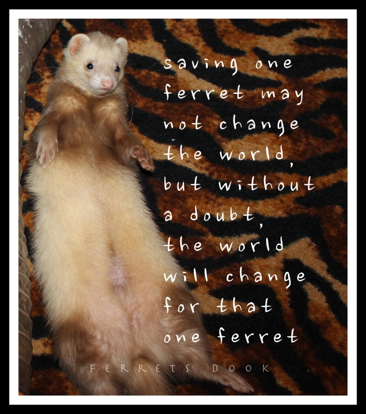 Shelter ferrets need good homes. Support your local shelter.