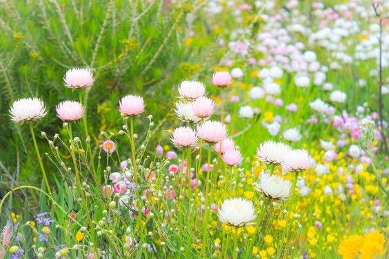 Spring flowers in bloom at Kings Park, Perth.