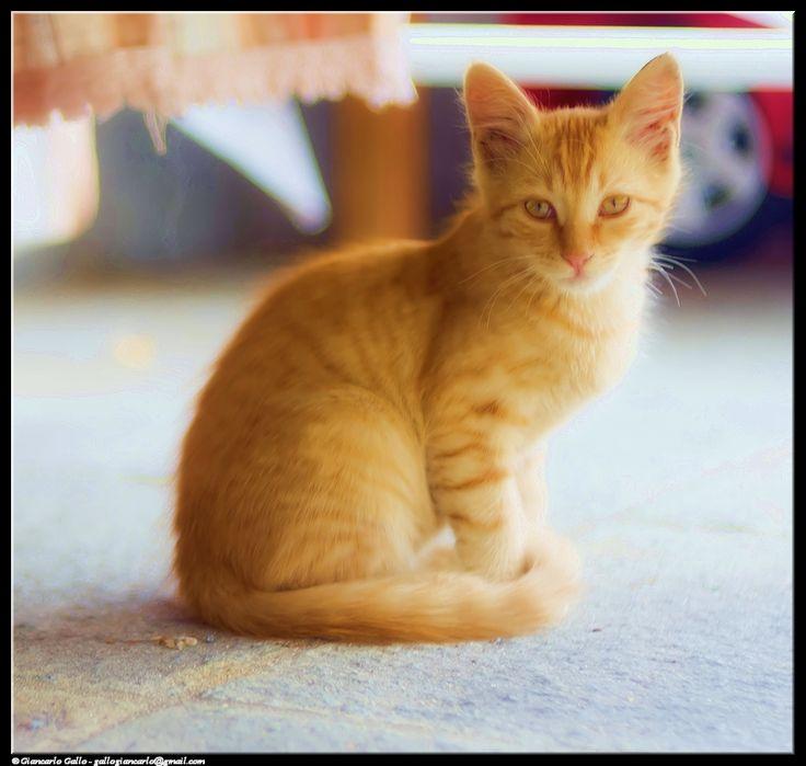 Gatto rosso - photographic processing (304) - elaborazione fotografica con effetto flou di un gattino rosso striato giovane ...