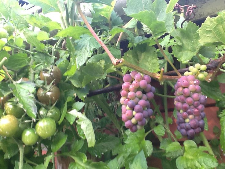 I had a lot of Grapes and Tomatoes this year!  So yummy!