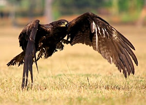 Black-eared Kite by Prasanna Bhat - Injured kite taking off Click on the image to enlarge.