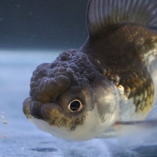 【goldfish_angel33】さんのInstagramをピンしています。 《Day5!looks sensitive... やっと、うちの環境に慣れてきたようですが、いわゆる線が細い子なので単独飼育が向いてる感じです 混泳させて競争させると変わる子もいるけどこの子はどうだろうか #goldfish #goldfishunion #goldfishtank #aquarium #goldfishofinstagram #watertank #orandagoldfish #アクアリウム #redcaporanda #金魚 #東錦 #丹頂 #水槽 #桜東錦 #ranchu #オランダ獅子頭#goldfishlover #caricooranda #instagoldfish #らんちゅう #telescopebutterfly #ranchu #goldfishinstagram #蝶尾#goldfishjunkie #fancygoldfish #goldfishcommunity #羽衣オランダ #blueoranda #fancygoldfishkeeping》