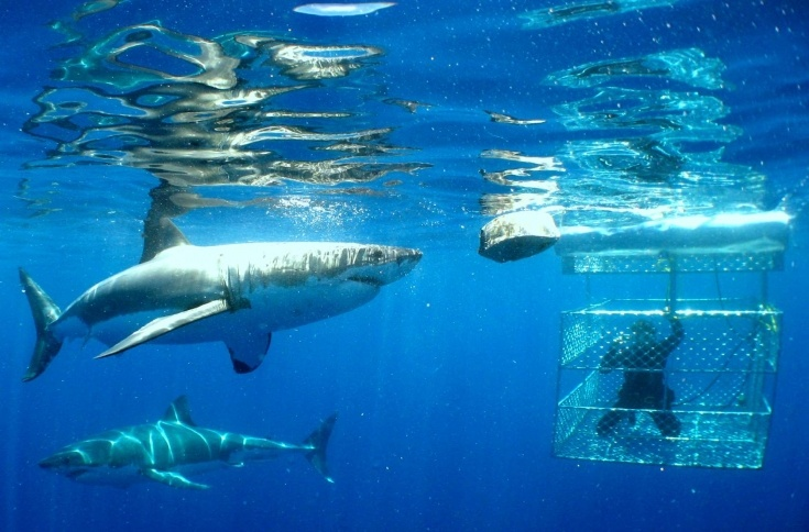 Shark Cage Dive - South Africa. Either in Gansbaai or Hermanus, about 1.5 - 2 hours from Cape Town
