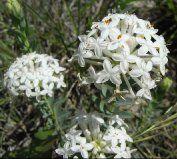 australian wildflower pimelea is so beautiful...