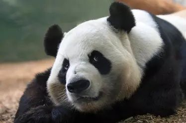 Oso panda 10.png