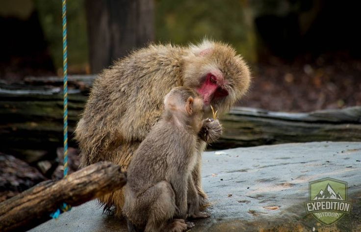 Its always amazing to see the love of a parent in the animal world. This photo was taken of a parent and baby Japanese Macaque taken at the City Park in Launceston Tasmania.  #tasmania #tasmaniagram #discovertasmania #instatassie #expeditionoutdoors #SeeAustralia #discoveraustralia #earthpics #bestnatureshots #igpowerclub #igphotoworld #GlobalCapture #Exploringtheglobe#bestworldpics #phenomenalshot #AdventureTasmania #photooftheday #traveldiary #beautifulnature #explore #adventure #livelife…