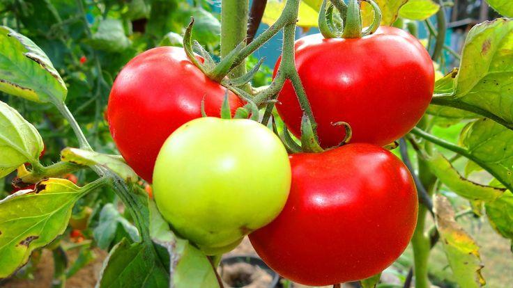 1000 id es sur le th me tuteur tomate sur pinterest potager pied de tomate et plants de tomate. Black Bedroom Furniture Sets. Home Design Ideas