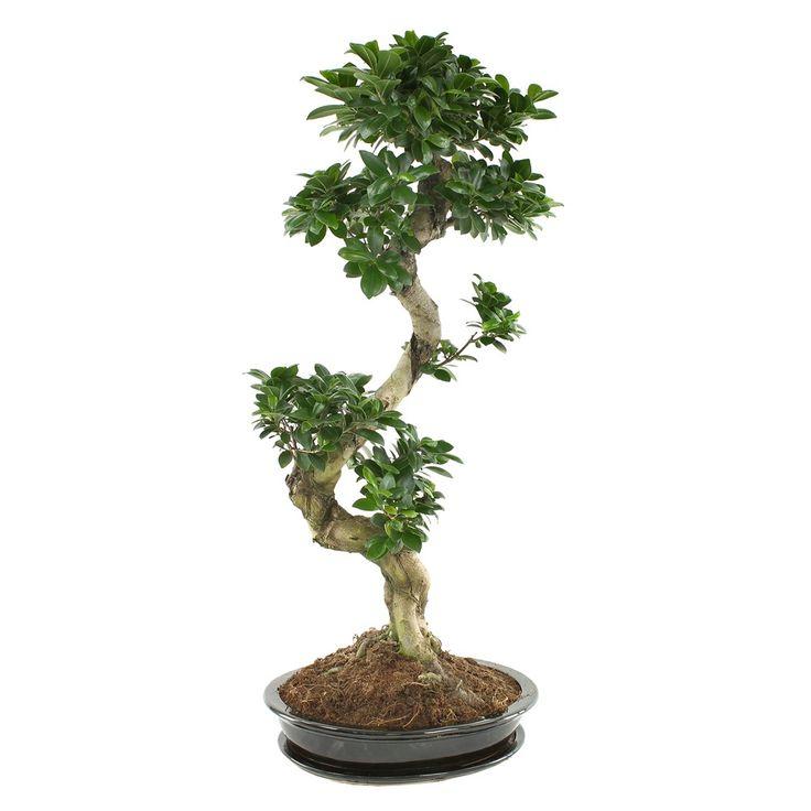 Ficus ginseng : Bonsaï, H100/110cm, D50cm