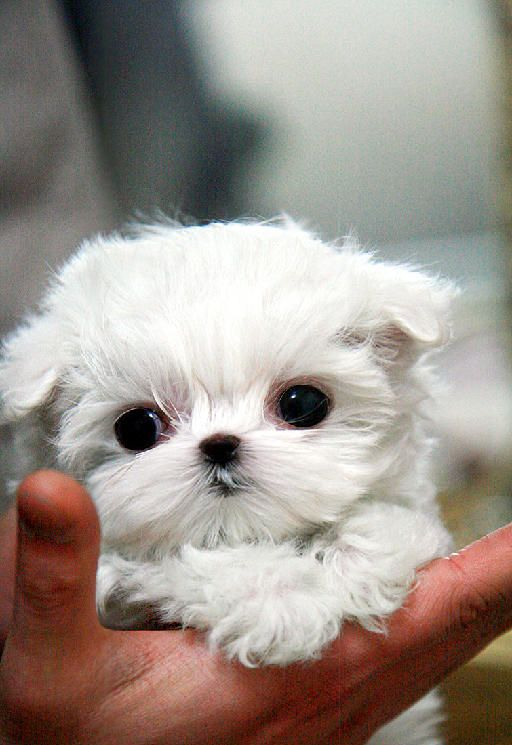 maltese puppies for sale in sc 25 best teacup puppies ideas on pinterest teacup dogs 6778