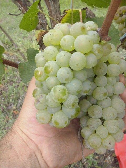 Chardonnay langhe vigneto Balluri