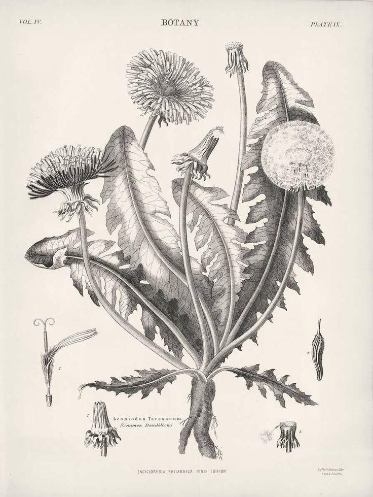 1882 Botanical Drawings Common Dandelion