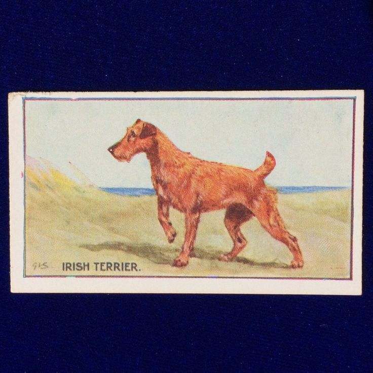 Beautiful 1926 Irish terrier trading card featuring the art of George Vernon Stokes. Issued by Sanders' Crystal Jelly, London, England. Excellent collectible!
