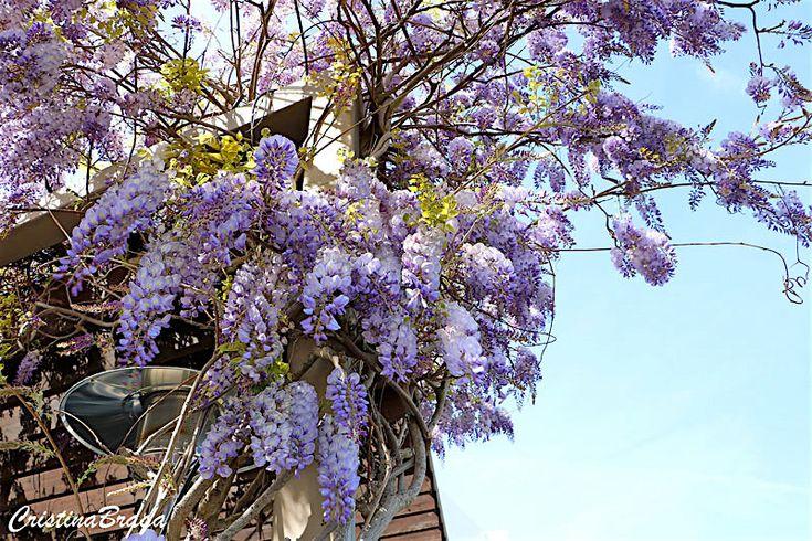 A Glicínia e uma trepadeira volúvel, pertence à família Fabaceae, nativa da China, lenhosa, caduca, vigorosa, ramificada, com altura de até 15 metros.......