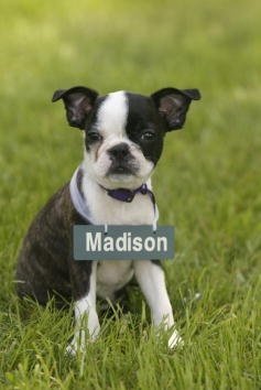 http://vanchen.hubpages.com/hub/Teacup-Boston-Terrier