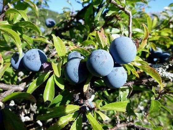 Blackthorn fruit (sloe)