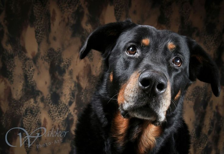 122 best images about Beauceron on Pinterest | French