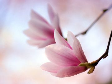 Magnolien © atteloi