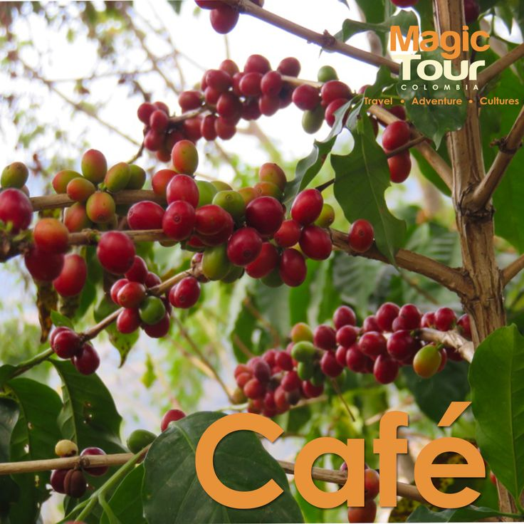 Have you ever taste the colombian coffee?  Coffee from Sierra Nevada! #coffee #minca #SierraNevada #MagicTour #WetakeYouthere