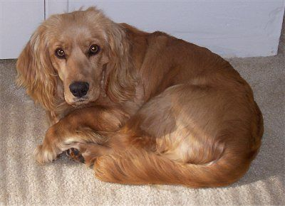 """Primo the Golden Cocker Retriever at 3 years old—""""Primo looks just like the purebred Golden Retriever that lives next door, just a whole lot smaller.He's got the gentle disposition of his Golden Retriever friend and the up-beatness of a Cocker Spaniel."""""""