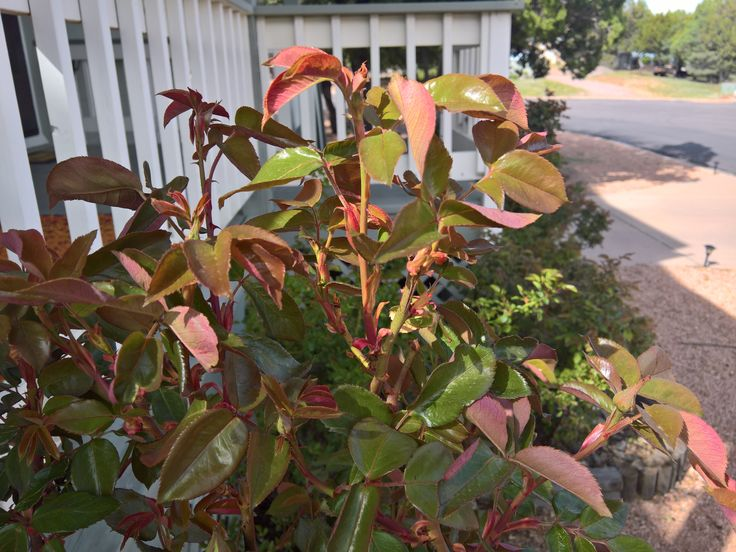 Is this new growth or rosette disease? #gardening #garden #DIY #home #flowers #roses #nature #landscaping #horticulture
