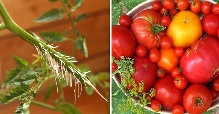 Jak rozmnožit sazeničky rajčat během 1 týdne