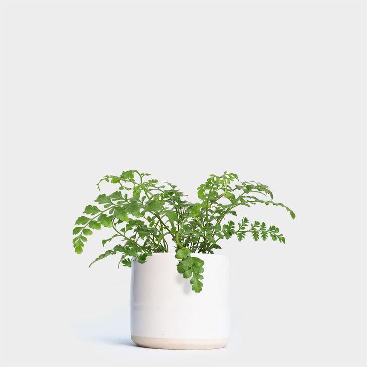 Austral Fern | Order Plants Online