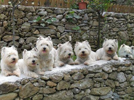 West Highland White Terrier Family Portrait