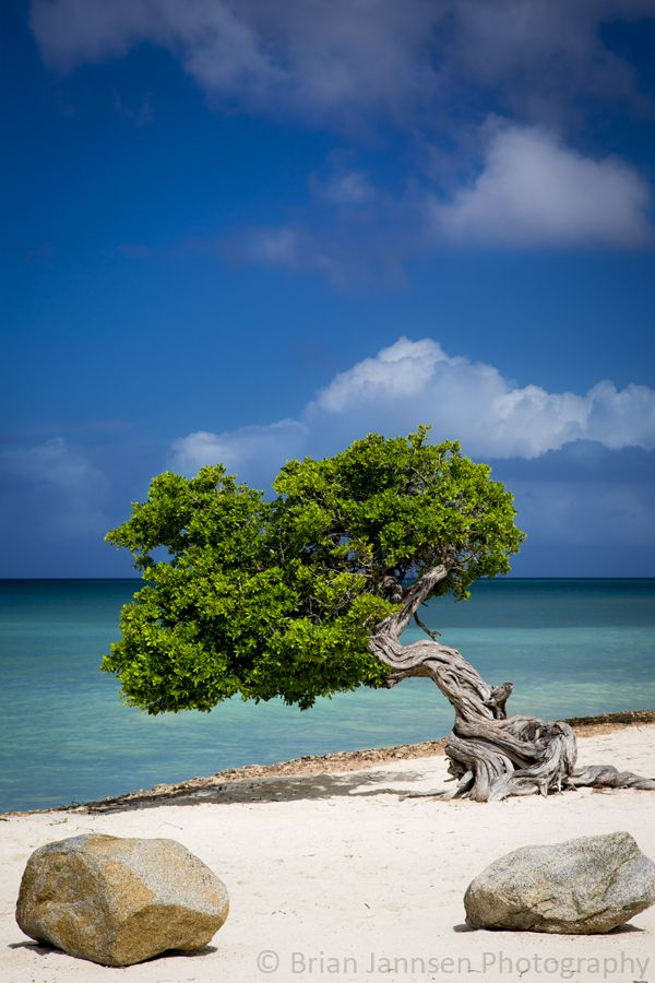 Weathered Fototi Tree on Aruba Beach. © Brian Jannsen Photography
