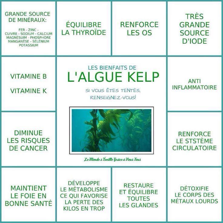 Algues kelp