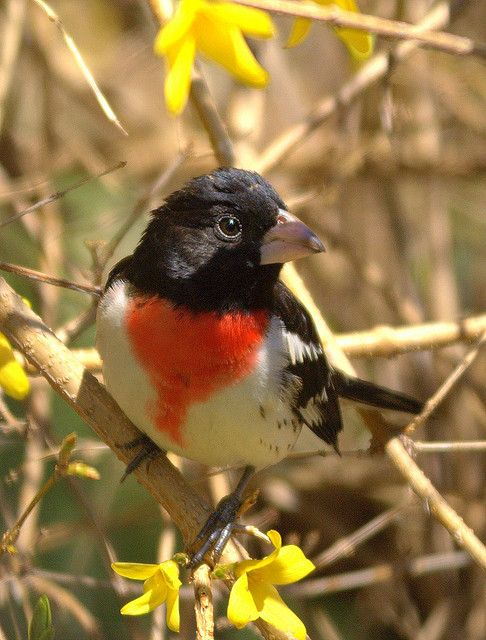 61 best INDIANA NATIVE BIRDS images on Pinterest