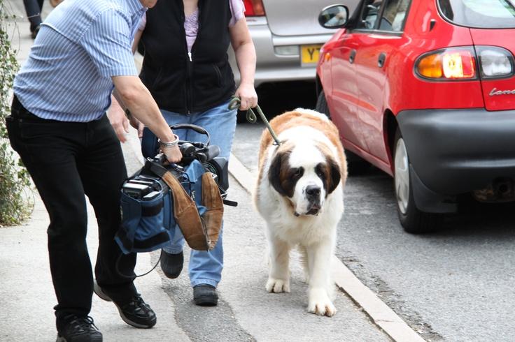 Emmy the St Bernard arriving for filming!