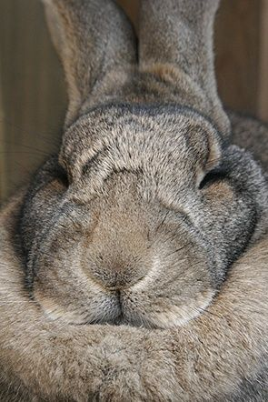 Anka, a Flemish Giant, sleeping.