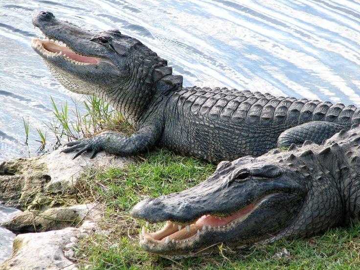 Dwa aligatory