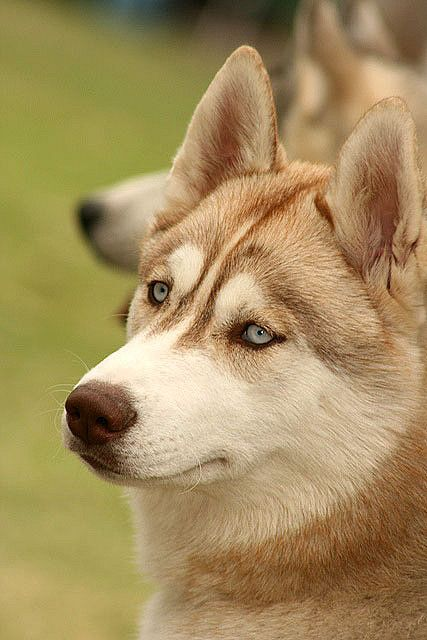 I WANT HIM!!! Huskies have been my favorite forever! shhh.. don't tell ouzo :)